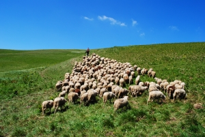 20110808_1351077_shepherd_leads_his_sheep_