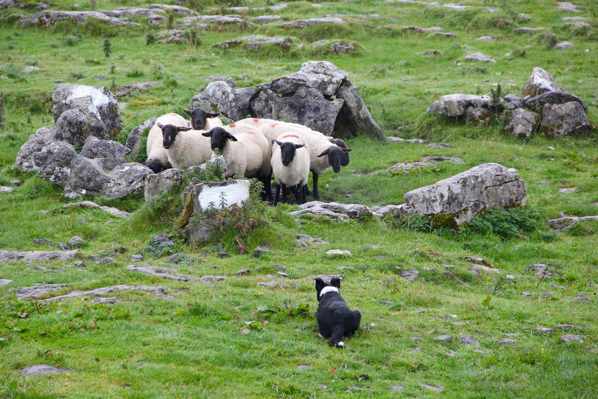 sheepdog-981878_1920.jpg